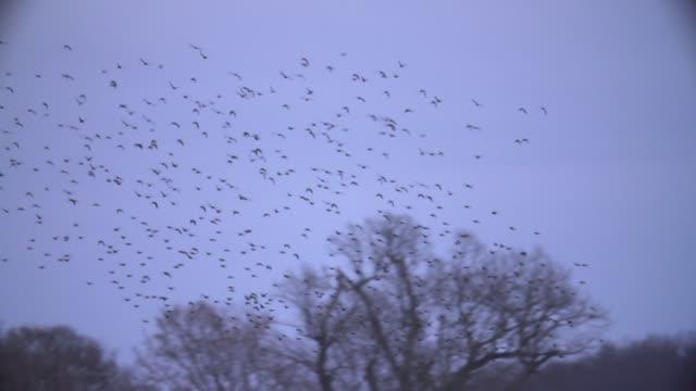 Flock of birds circle in sky