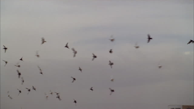 a flock of birds creates interesting formations as they soar through wind currents in the sky. - formation flying stock videos & royalty-free footage
