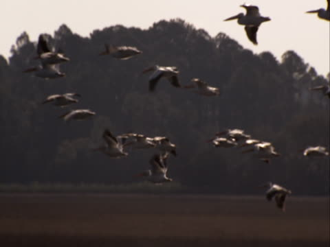 a flock of birds fly in formation. - birds flying in v formation stock videos and b-roll footage