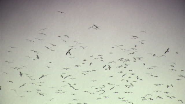 vídeos de stock, filmes e b-roll de ws, la, flock of birds flying against sky, california, usa - north america