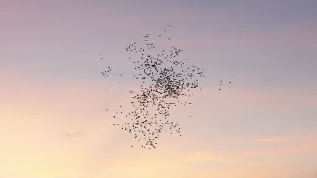 flock of birds flying in the sky - large group of animals stock videos & royalty-free footage