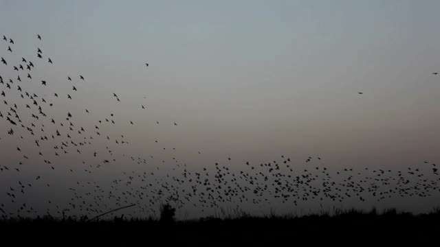 flock of  birds flying in v formation - crowing stock videos & royalty-free footage