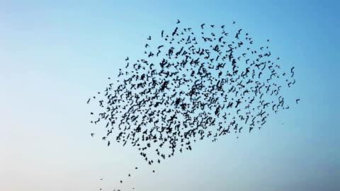 vogelschwarm in v-formation fliegen - bird stock-videos und b-roll-filmmaterial