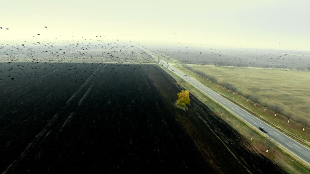 Flock of birds flying over plowed field. Aerial shooting