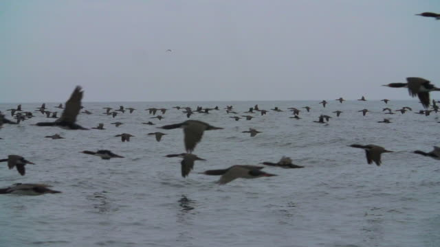flock of birds flying over sea water - sea bird stock videos and b-roll footage