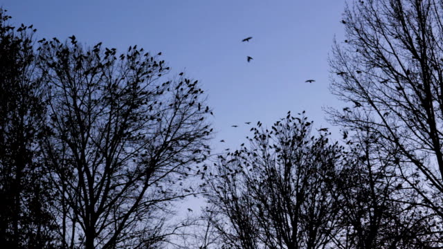 flock of birds gather in winter trees fly off together - ominous stock videos & royalty-free footage