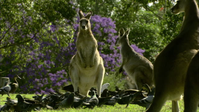 A flock of birds gathers around a troop of kangaroos.