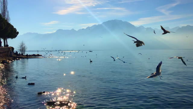 flock of birds in montreux, shore of lake geneva in winter - montreux stock videos & royalty-free footage