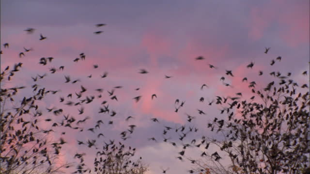 flock of birds in silhouette perched in tree treetops and in flight in pink cloud blue sky many perching on bare limbs in trees large group of birds... - perching stock videos & royalty-free footage