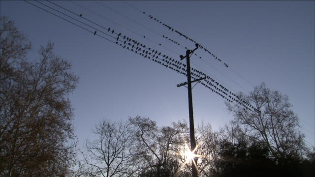 a flock of birds perches on telephone wires. - kabel stock-videos und b-roll-filmmaterial