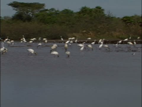 flock of birds standing in water - aquatic organism stock videos & royalty-free footage