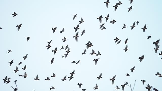 flock of birds starlings (sturnus vulgaris) flying and perching on a tree - flock of birds stock videos & royalty-free footage