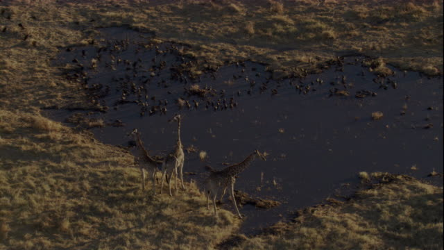 a flock of birds startles giraffes at a waterhole. available in hd. - giraffe stock videos and b-roll footage