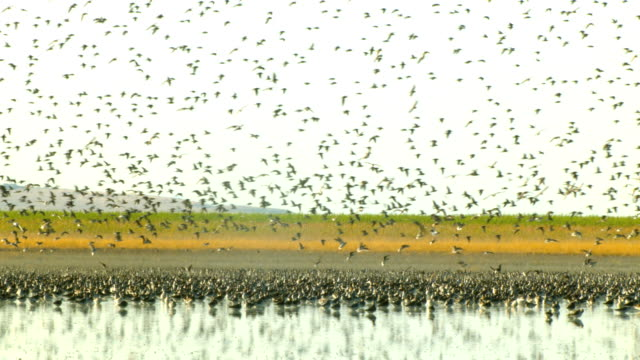 a flock of birds swarms over a wetlands filled with foraging birds. - foraging stock videos and b-roll footage