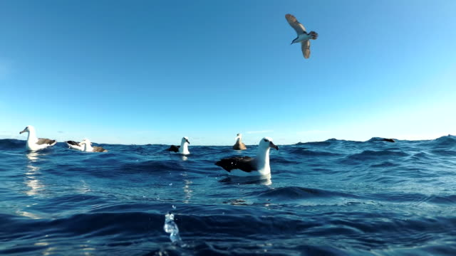 flock of black browed albatrosses floating on the water trying to feed on scraps discarded by fishermen, north island, new zealand. - north pacific ocean stock videos & royalty-free footage