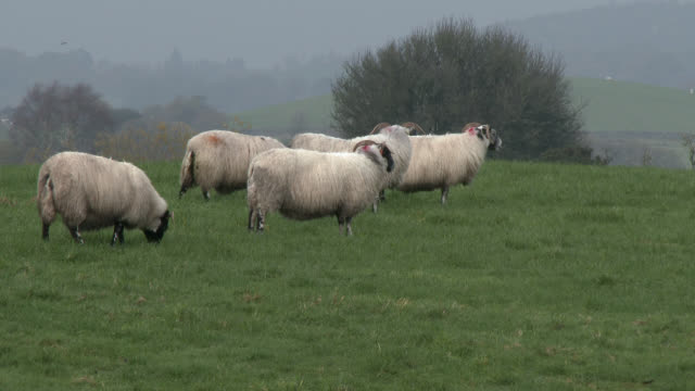Flock of black faced sheep in a field on a grey overcast day
