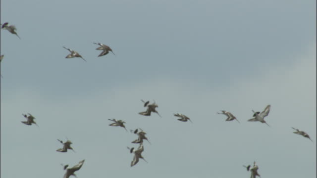 Flock of black tailed godwit fly over and land in lake, Bayanbulak grasslands.
