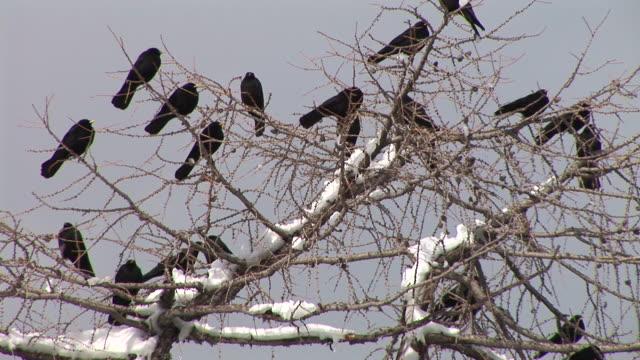 HD: A flock of blackbirds