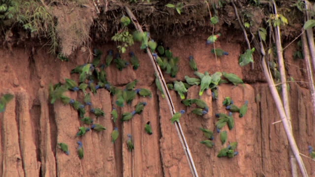 WS Flock of Blue Headed Parrots (Pionus menstruus) perching on clay formation in Manu National Park / Peru
