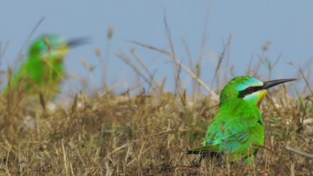 vídeos de stock e filmes b-roll de flock of blue-cheeked bee-eater (merops persicus) - azerbaijan - boca de animal