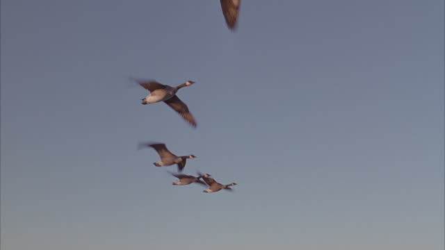 a flock of brown canadian geese flying across the blue sky. - oca uccello d'acqua dolce video stock e b–roll