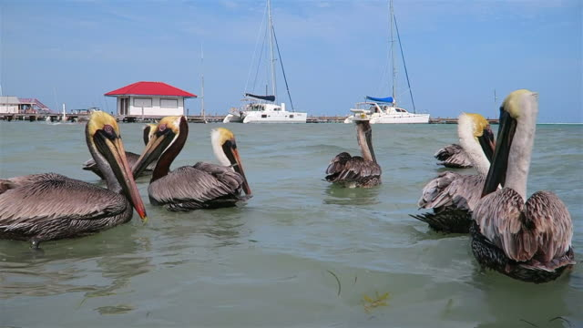 Flock of Brown Pelican (Pelecanus occidentalis) and Frigatebird feeding and swimming in caribbean sea of Ambergris Caye - Belize.