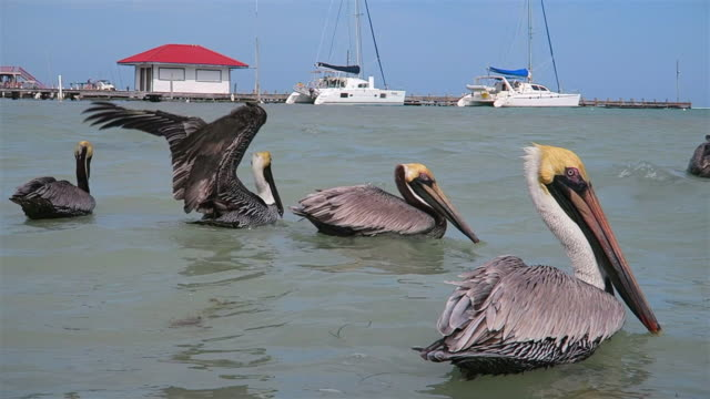 flock of brown pelican (pelecanus occidentalis) feeding and swimming in caribbean sea of ambergris caye - belize. - pelican stock videos & royalty-free footage