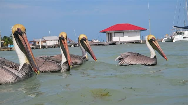 flock of brown pelican (pelecanus occidentalis) feeding and swimming in caribbean sea of ambergris caye - belize. - composition stock videos & royalty-free footage