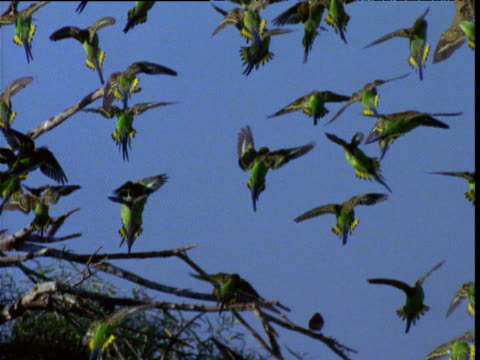 vídeos de stock, filmes e b-roll de flock of budgies comes in to land on tree in outback, northern territory, australia - periquito comum