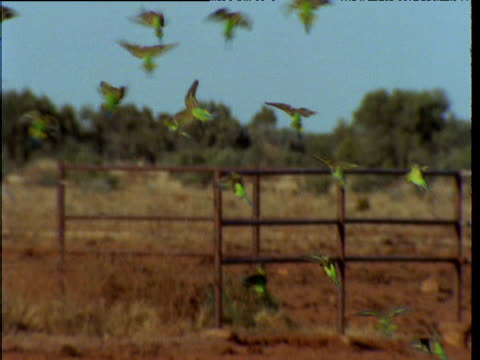 vídeos de stock, filmes e b-roll de flock of budgies drinks nervously from puddle in outback, northern territory, australia - periquito comum
