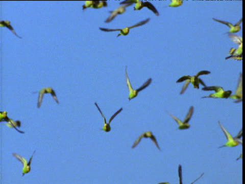 vídeos de stock, filmes e b-roll de flock of budgies flies in blue sky in outback, northern territory, australia - periquito comum