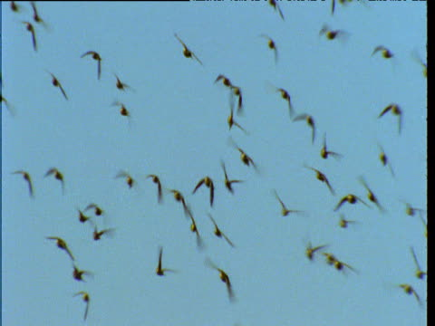 vídeos de stock, filmes e b-roll de flock of budgies flies over outback, northern territory, australia - periquito comum