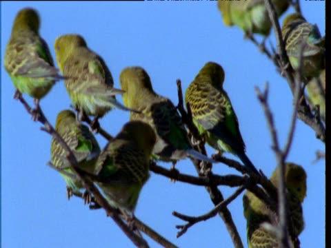 flock of budgies rests in tree on outback, northern territory, australia - 小枝点の映像素材/bロール