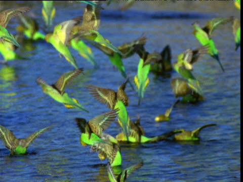vídeos de stock, filmes e b-roll de flock of budgies skims and dunks into waterhole to drink in outback, northern territory, australia - periquito comum