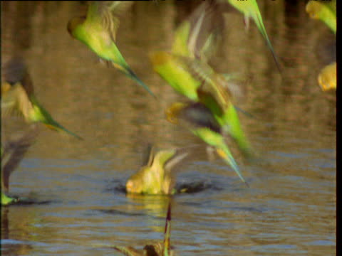 Flock of budgies skims and dunks into waterhole to drink, Northern Territory, Australia