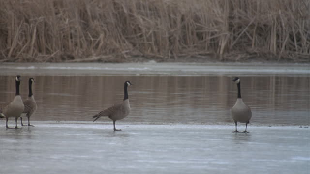 A flock of Canada geese walk on an icy lake.