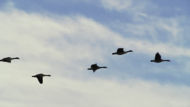 flock of canadian geese fly silhouetted against blue sky and clouds. - goose stock videos & royalty-free footage