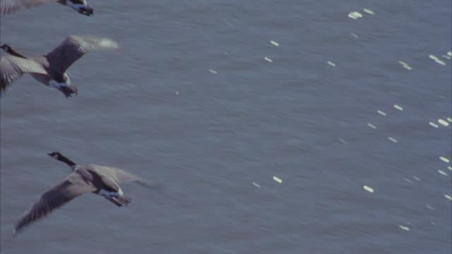 vídeos y material grabado en eventos de stock de a flock of canadian geese flying over the atlantic ocean and a grassy field. - goose meat