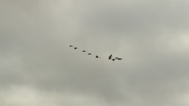 WS LA TS Flock of Canadian Geese (Branta canadensis) flying over town / Jasper, Alberta, Canada