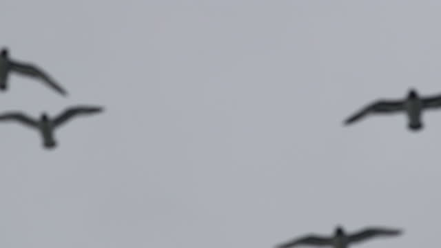 flock of cape petrels (daption capense) flying against overcast sky - medium group of animals stock videos & royalty-free footage