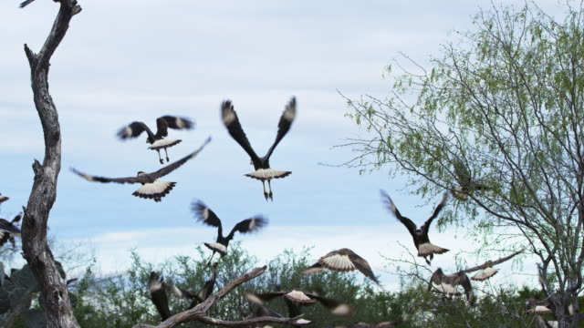 flock of caracaras taking off - vogelschwarm stock-videos und b-roll-filmmaterial