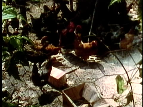 vídeos de stock, filmes e b-roll de 1969 montage ms flock of chickens in coop/ ms young boy and girl scattering feed to chickens/ usa/ audio - appalachia