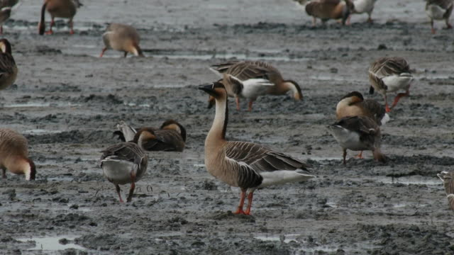 Flock of chinese goose searching prey on the mud flat
