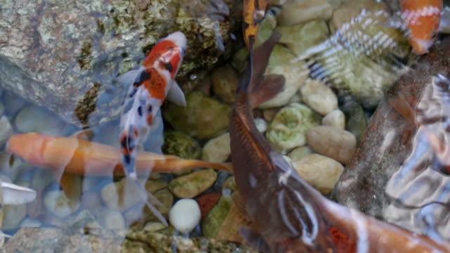 vídeos de stock, filmes e b-roll de bando de carpa colorida e o peixe dourado de carpas koi flutuando no lago de jardim japonês com pedras. close-up e vista superior - bichos mimados
