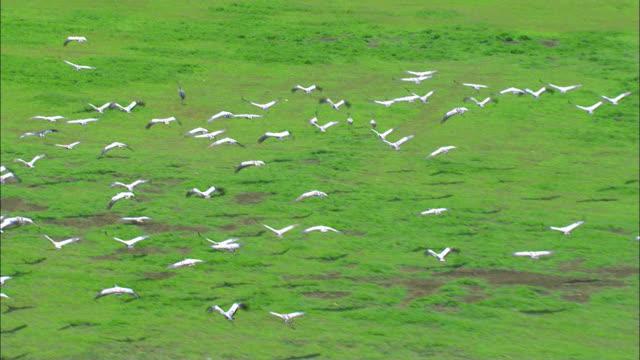aerial flock of common cranes (grus grus) flying above green field in hula valley /upper galilee, israel - クロヅル点の映像素材/bロール
