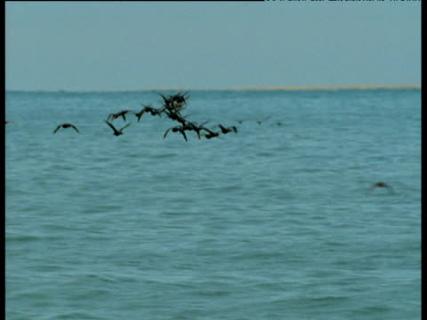 Flock of cormorants fly in sinuous pattern over the Atlantic