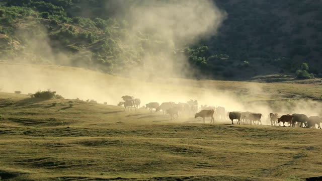 flock of cow and dust smoke - lavoratore agricolo video stock e b–roll