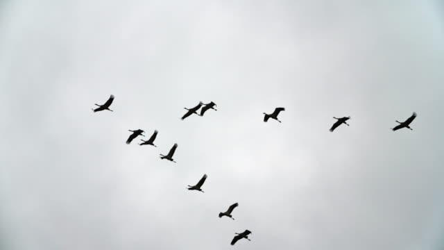 flock of crane birds flying in a v formation - slow motion - uccello video stock e b–roll
