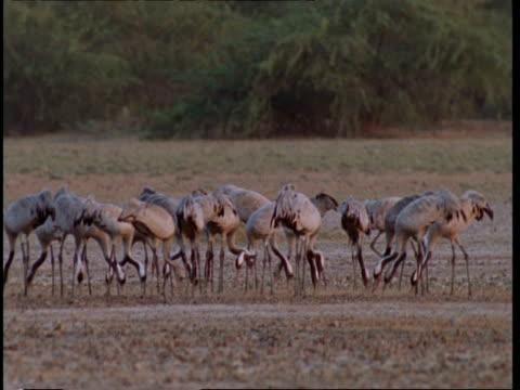 ms flock of crane feeding in field, gujarat, india - eurasischer kranich stock-videos und b-roll-filmmaterial