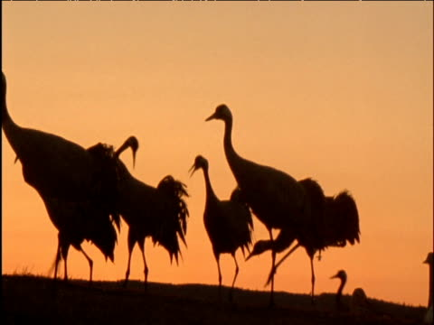 Flock of cranes calls and displays at sunset